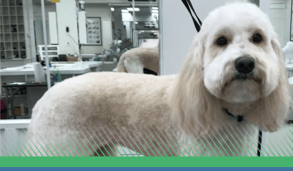 Our Groomers Have Your Poodle Doodle Covered!
